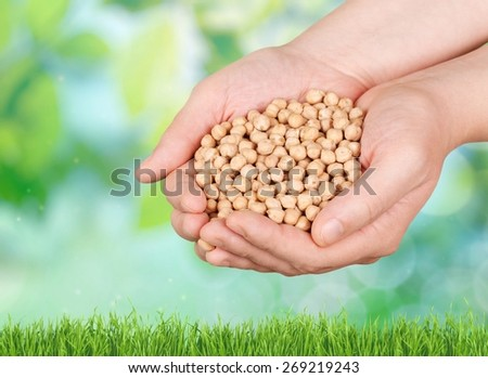 Soybean. Human hand holding soybean, with field  in background - stock photo