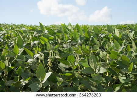 Soybean Plant with blue sky - stock photo