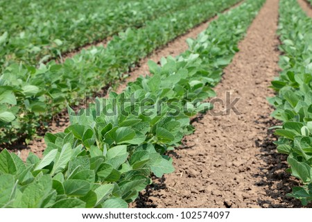 Soybean plants in a field, selective focus - stock photo