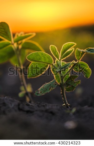 Soybean plants in sunset, soy bean rows in agricultural field, selective focus - stock photo