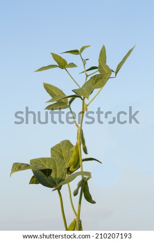 Soybean stem ripening over blue sky - stock photo