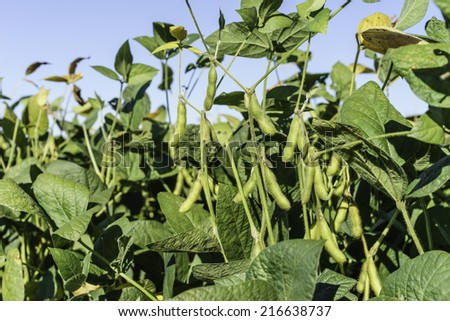 Soybeans in farm field, early September in Illinois - stock photo