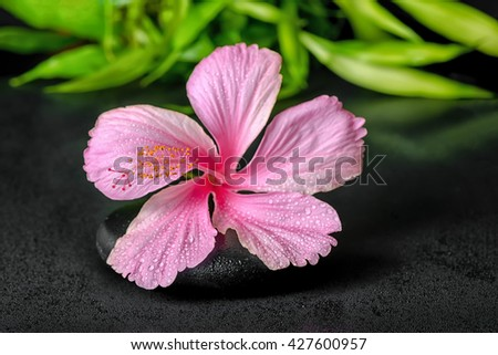 spa concept of pink hibiscus flower and twigs bamboo on zen basalt stone with drops, close up - stock photo