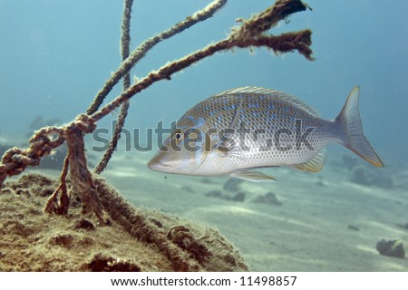 spangled emperor (lethrinus nebulosus) - stock photo