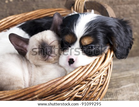 spanie puppy and kitten - stock photo