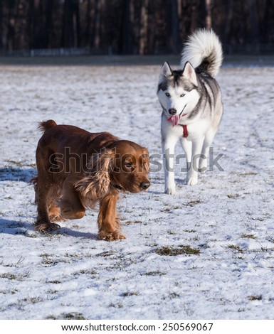 Spaniel and Siberian Husky. Dogs playing on a sunny winter day. Fresh snow lies in the field. - stock photo