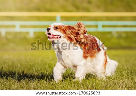 Spaniel on a summer outing - stock photo