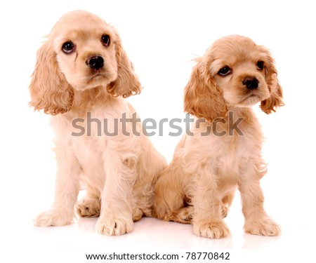 spaniel puppies isolated on white - stock photo