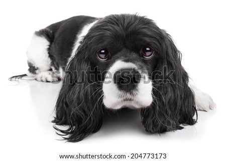 Spaniel puppy dog isolated on white background - stock photo