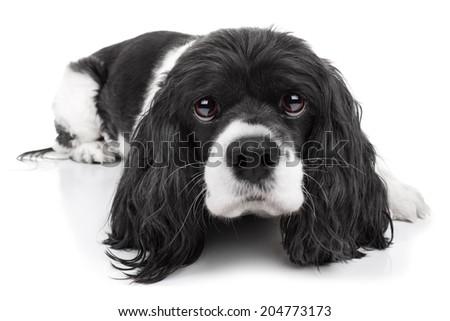 Spaniel puppy dog isolated on white background - stock photo