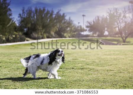 Spaniel running at a park - stock photo