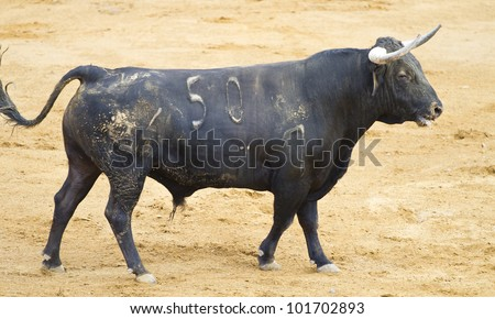 Spanish black bull in the bullring with sand - stock photo