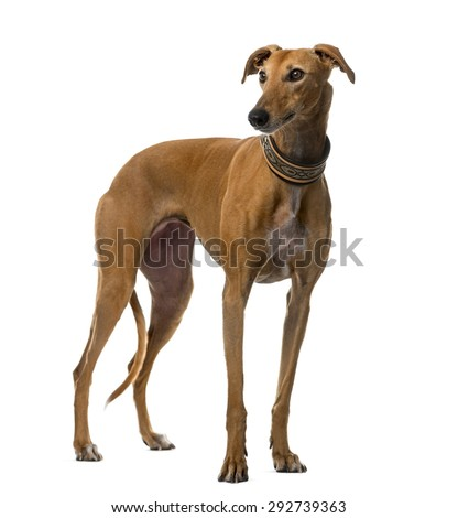 Spanish galgo (4 years old) in front of a white background - stock photo