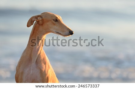 Spanish Greyhound dog poses outdoors at the beach - stock photo