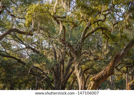 Spanish moss draped in huge, ancient live oak trees in southern United States - stock photo