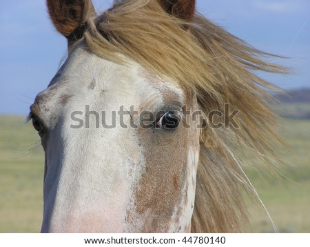 Spanish Mustang mare close-up of eye with mane blowing in wind - stock photo