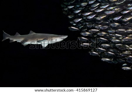 Spanish sardines and Atlantic thread herring in a bait ball formation while threatened by a shark. - stock photo