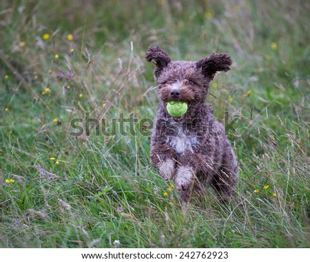 Spanish Water Dog - stock photo