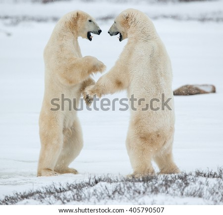 Sparing polar bears. Fighting Polar bears (Ursus maritimus ) on the snow. Arctic tundra. Two polar bears play fighting. Polar bears fighting on snow have got up on hinder legs.  - stock photo