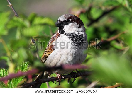 Sparrow bird sitting on a branch of a tree in the bush - stock photo