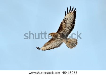 sparrow hawk in flight (accipiter nisus) - stock photo