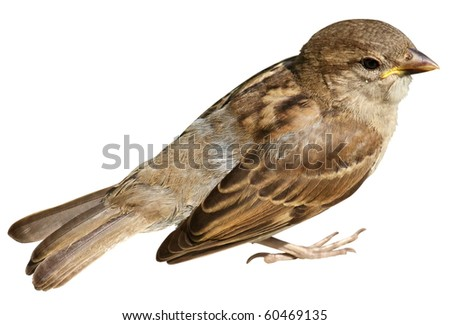 Sparrow isolated on white background - stock photo
