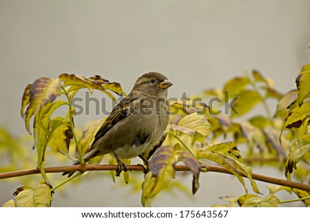 Sparrow on a branch - stock photo