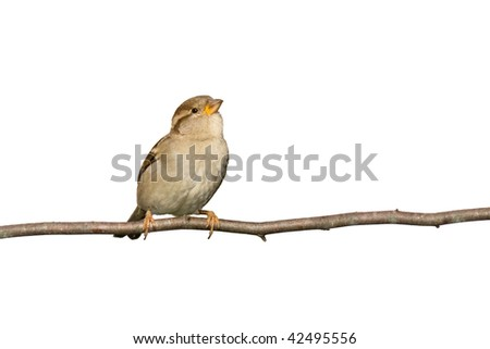 sparrow perched on a branch prepared to fly; white background - stock photo