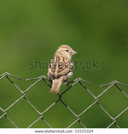 Sparrow perched on wire-net - stock photo