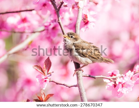 Sparrow sitting between the blossoms of a pink flowering peach tree - stock photo