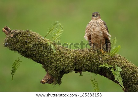 Sparrowhawk - stock photo