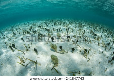 Sparse seagrass grows on a shallow sand seafloor in the Caribbean Sea. This marine habitat is utilized by a variety of fish and invertebrates. - stock photo