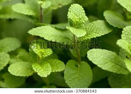 Spearmint fresh leaves (Mentha spicata)(mint) - stock photo
