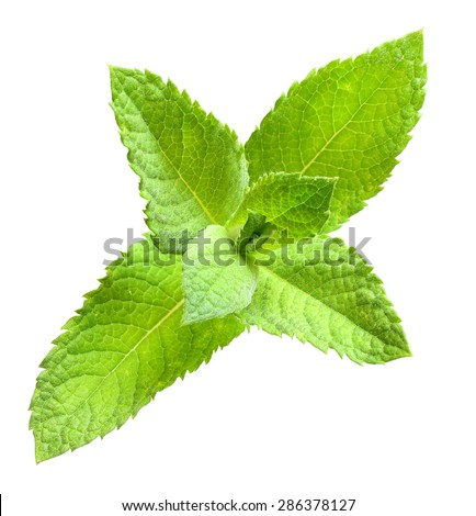 Spearmint (Mentha spicata) is an ingredient in several mixed drinks, such as the mojito and mint julep. In herbalism, spearmint is steeped as tea for the treatment of stomach ache. - stock photo