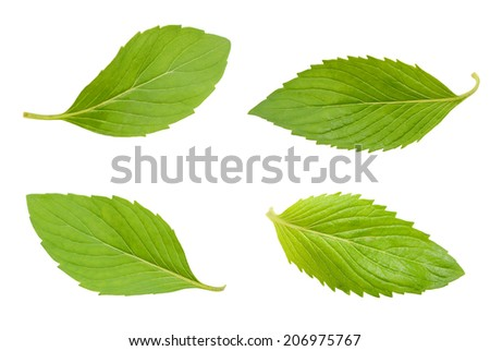 spearmint mint leaves isolated on white background  - stock photo