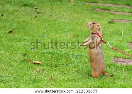 Special pet prairie dog - stock photo