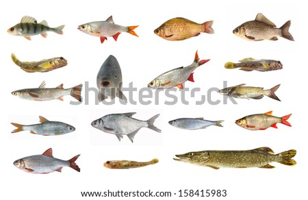 Pike perch stock photos images pictures shutterstock for White fish types