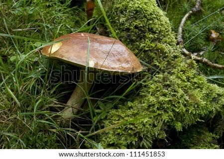 Species of Suillus mushroom on mossy tree stump - stock photo