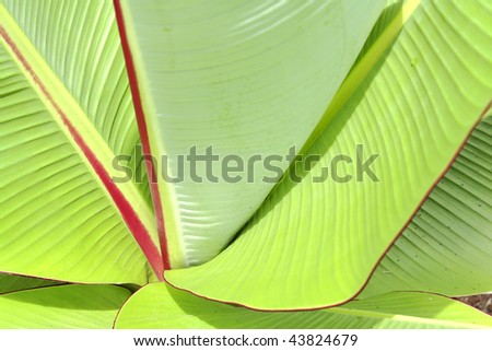 Specific banana leaves close-up - stock photo