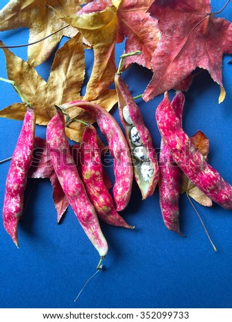 Speckled beans in their pods against fall leaves on blue - stock photo