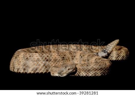 Speckled Rattlesnake (Crotalus mitchellii) isolated on black background. - stock photo