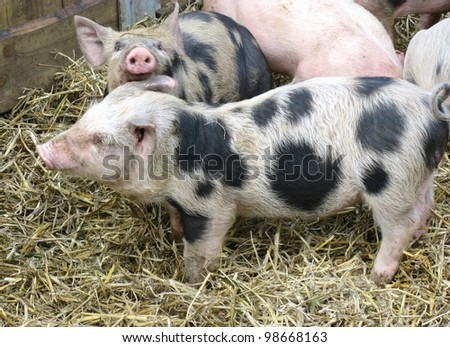 Speckled young pigs in the straw of a stable - stock photo