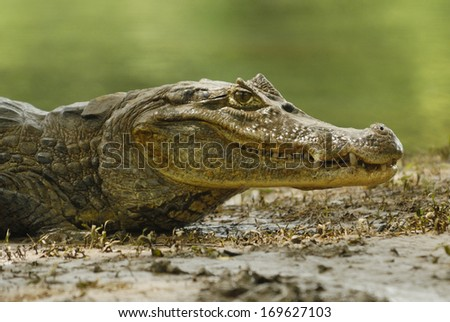 Spectacled Caiman (Caiman crocodilus) in Cano Negro National Park, Costa Rica - stock photo