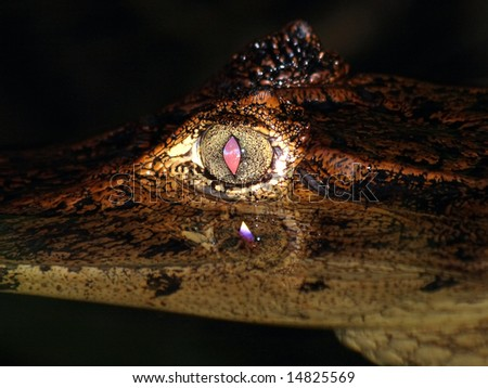 Spectacled Caiman (Caiman crocodilus) in Costa Rica - stock photo