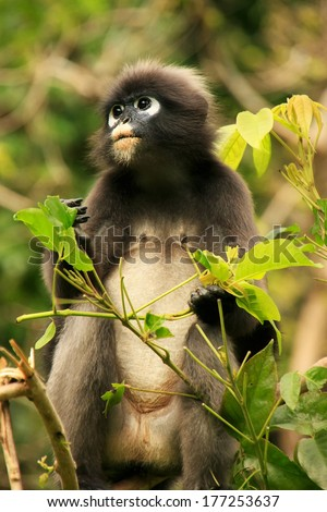 Spectacled langur sitting in a tree, Wua Talap island, Ang Thong National Marine Park, Thailand - stock photo