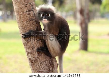 spectacled lemur sitting in a tree in Thailand - Prachuap khiri Khan - stock photo
