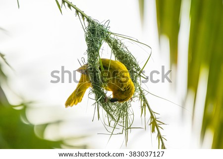 Spectacled weaver (ploceus ocularis) building a nest on palm leaf. Moremio game reserve, Okavango delta, Botswana. - stock photo