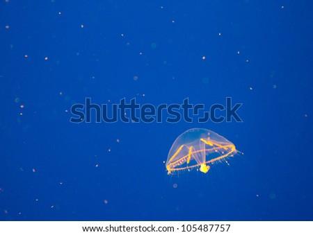 spectacular jellyfish - stock photo