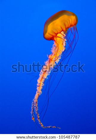 spectacular jellyfish - stock photo