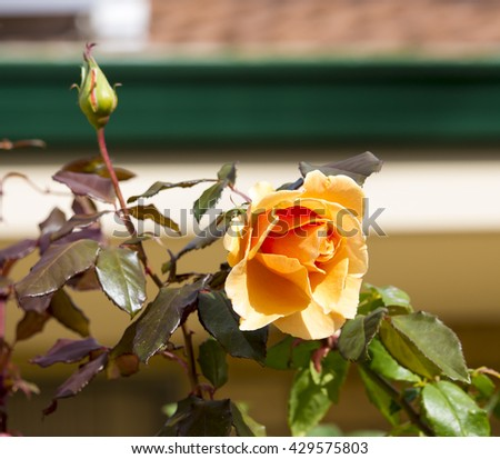Spectacular perfumed   magnificent  beautiful golden yellow  hybrid tea roses blooming in  late autumn  adds fragrant charm to the garden scape  with  their  lovely form and shape. - stock photo